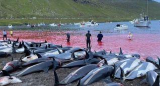 Delfines sacrificados en Islas Feroe.