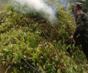 Miembros del ejercito destruyen planta de coca.