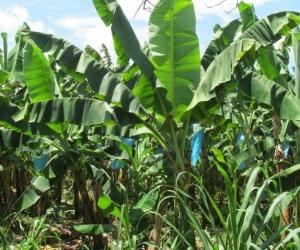 El permiso otorgado a Frutesa es para la ampliación de cultivos de banano.