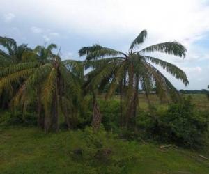 Cultivos de palma afectados por la plaga de pudrición del cogollo