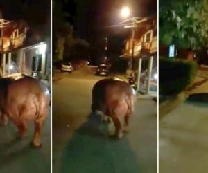 Hipopótamo en calles de Doradal, Antioquia
