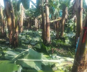 Así quedaron los cultivos de banano.