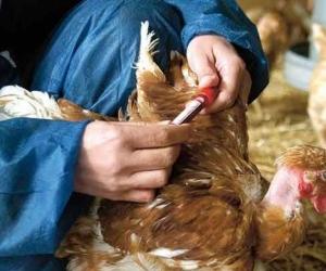 La enfermedad de Newcastle se define como una infección de las aves de corral.