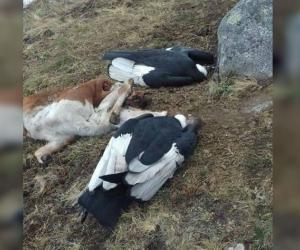 Cóndores muertos en San Pedro de la Sierra.