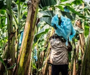 El 85% de las exportaciones de banano colombiano tienen como destino Europa.
