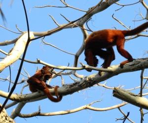 Los monos aulladores presentan una enfermedad llamada Miasis forunculoide causada por larvas de Dermatobia hominis.