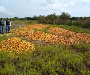 Aspecto de las visitas a las zonas donde, por sobreproducción, se está botando el mango.