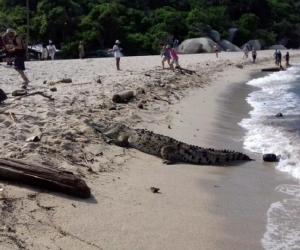 Caimán aguja en las playas del Parque Tayrona
