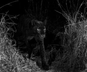 Leopardo negro captado en Kenia.