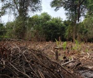 Tala y quema de árboles en la Ciénaga Grande de Santa Marta.