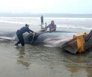Trabajos de remolque del cuerpo sin vida de una ballena en la orilla de la playa de Tongoy, en la norteña región de Coquimbo (Chile).