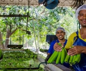 En el Magdalena y La Guajira se generan 15.000 empleos directos y 35.000 indirectos en el sector bananero.