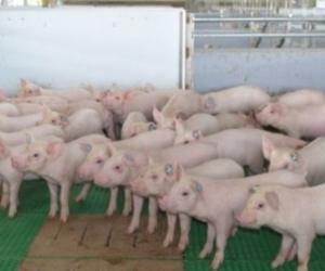 Más de mil productores porcícolas se capacitaron.