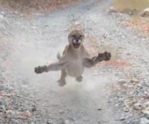 Escena del puma amenazando con atacar a la que pudo ser su víctima.
