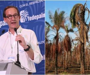 Los palmicultores podrán utilizar esta línea de crédito para la adecuación de la plantación, obras de infraestructura, compra de maquinaria y equipo, eliminación y renovación de plantaciones afectadas por PC y ML.