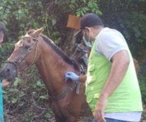 En las veredas Guachaca y Calabazo fueron inmunizados 140 equinos.