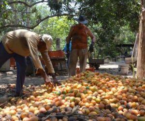 Productores de mango en Magdalena podrían verse beneficiados con la apertura comercial.