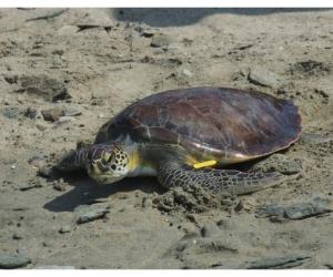 Las tortugas fueron rescatadas en el 2020 por el equipo de expertos del Centro de Atención de Fauna Marina.