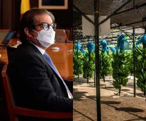 El Fusarium Raza 4 Tropical es una enfermedad que afecta las plantaciones de banano y plátano.