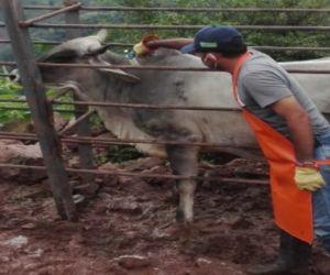 Los 27,4 millones de bovinos y bufalinos (27.422.732 animales) han sido vacunados.