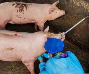 La PPA es una enfermedad que no se trasmite al ser humano por el consumo de carne porcina.