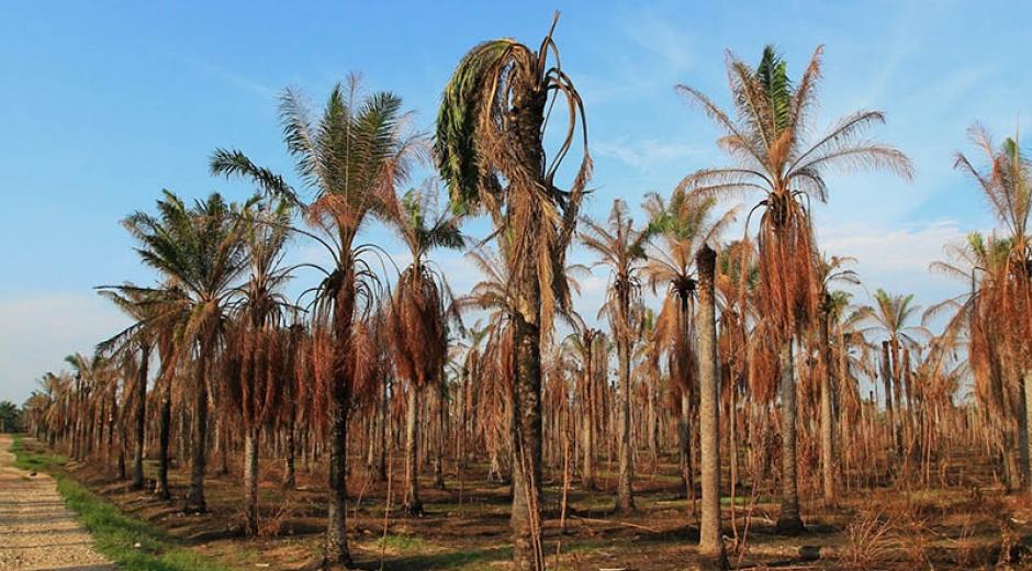 Esta enfermedad tiene preocupado a los palmeros del departamento, cada vez más crecen los cultivos afectados.