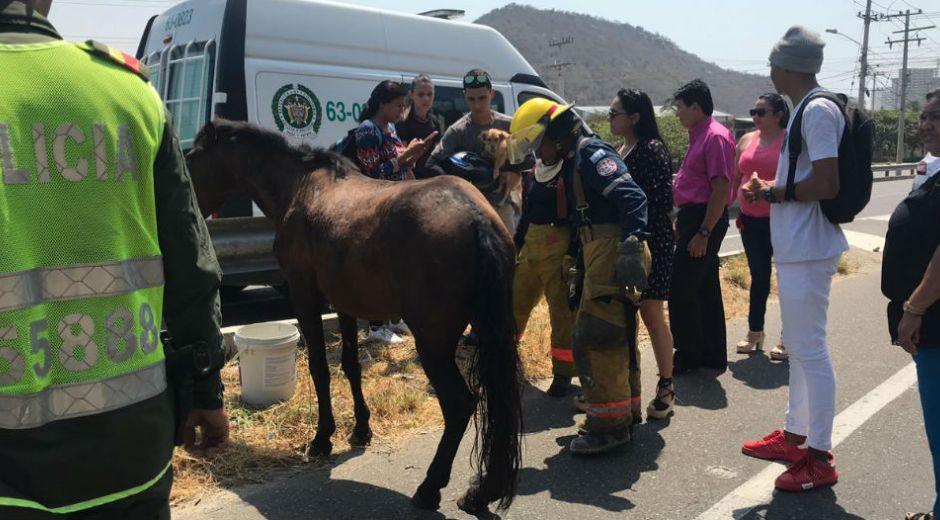 Caballo herido en accidente en El Rodadero. El animal murió horas después.