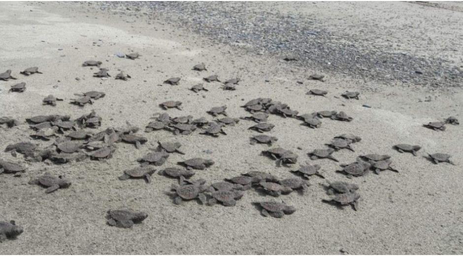 Estas playas son escogidas por las tortugas para arribar y eclosionar debido a sus ecosistemas marinos costeros productivos