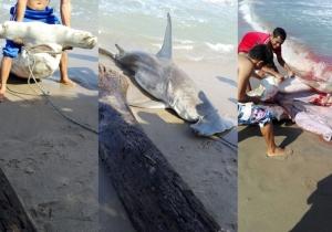 Tiburón martillo capturado en las playas de Santa Verónica.